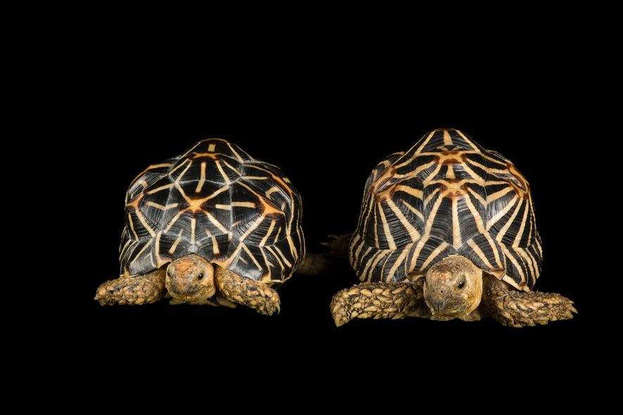 """The Indian star tortoise, considered a """"vulnerable"""" species, is one of the world's heavily trafficked tortoises. CITES members voted to ban it from international commercial trade."""