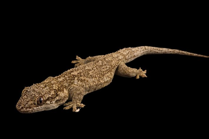 Velvet geckos also seem to become less intelligent in the heat.