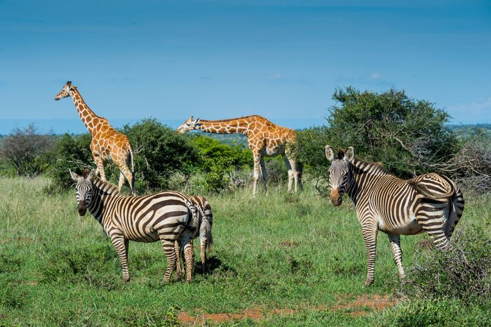 Rangers and conservationists worry that amid the pandemic, giraffes, zebras, and other animals may be targeted ...