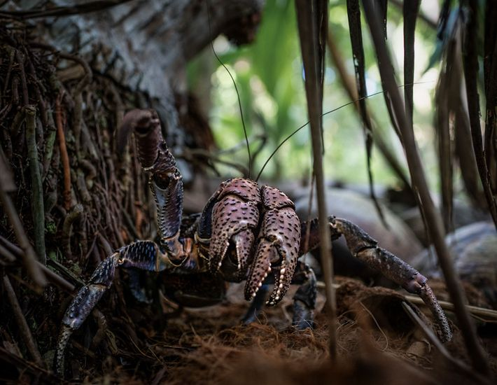 Coconut crabs are the largest land invertebrates on the planet. Now they may hold the key ...