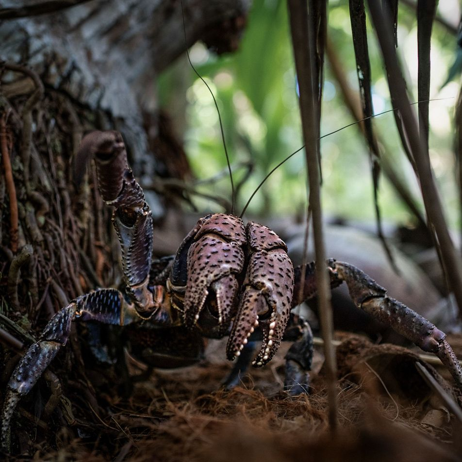Colossal crabs may hold clue to Amelia Earhart fate