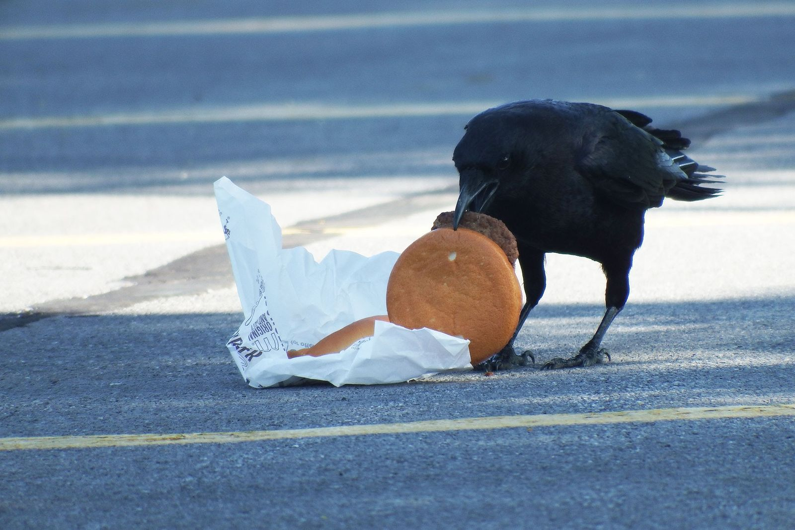 Crows love cheeseburgers. And now they're getting high cholesterol
