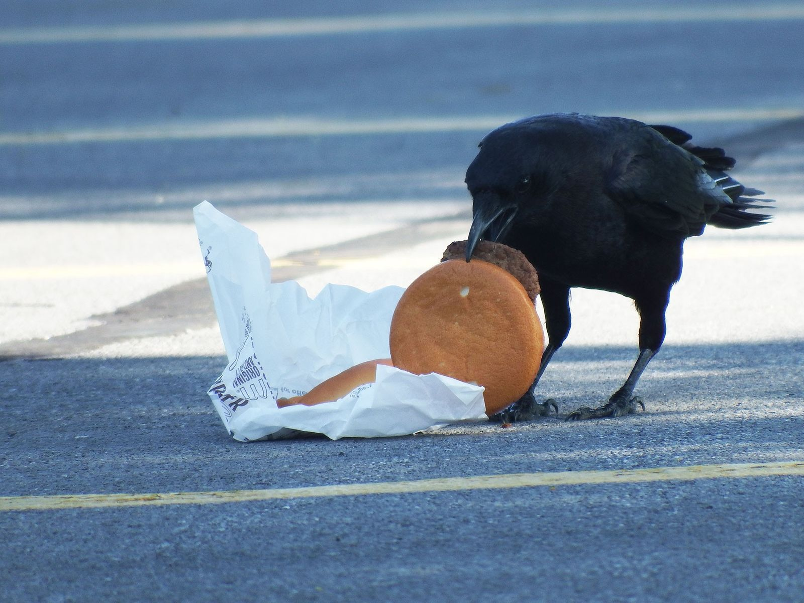 Scientists fed cheeseburgers to crows to see whether eating humans' leftovers affected the birds' survival.