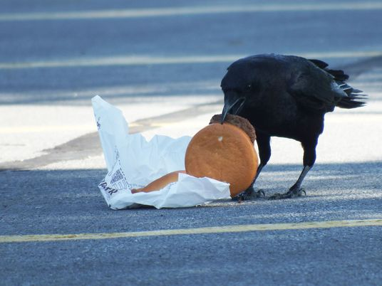 Crows love cheeseburgers. And now they're getting high cholesterol. - 1