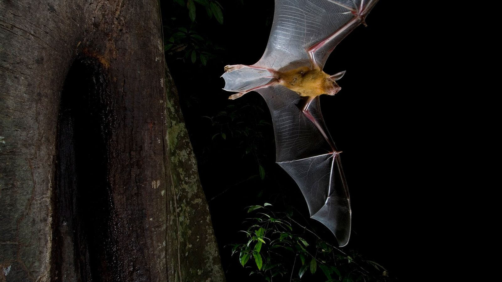 Bats, like this greater bulldog bat that catches fish with its feet, are typically creatures of ...