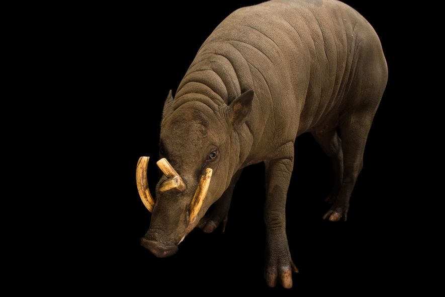 The North Sulawesi babirusa has not one but two pairs of tusks—one for fighting and one ...