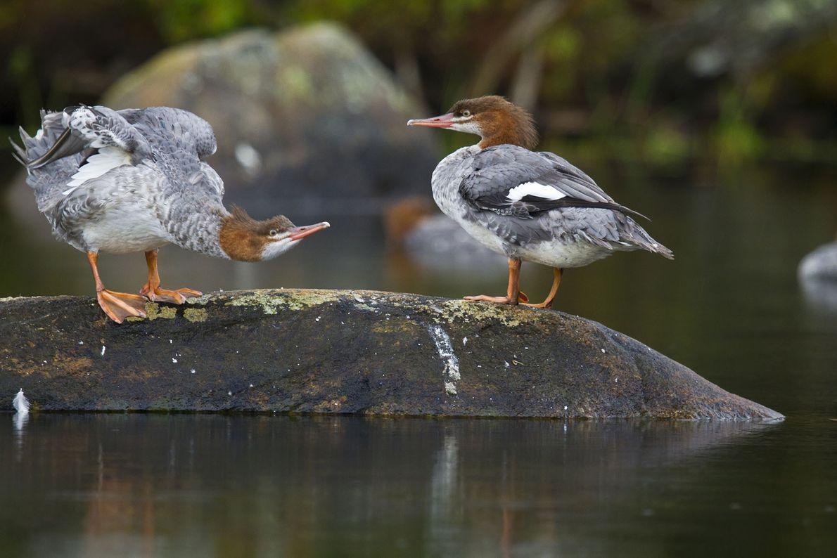 Common merganser ducks rest on Lake Placid in New York.