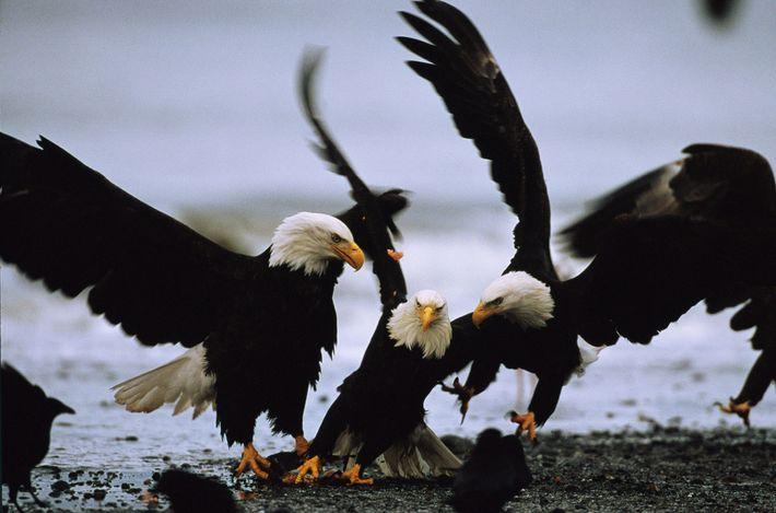 02-earth-day-46-facts-bald-eagle