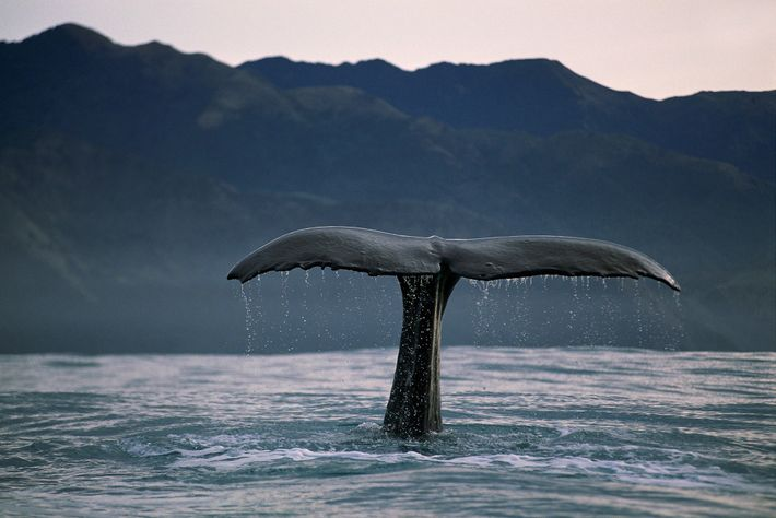 Sperm whales (pictured, an animal in New Zealand) can be identified by small differences in the ...