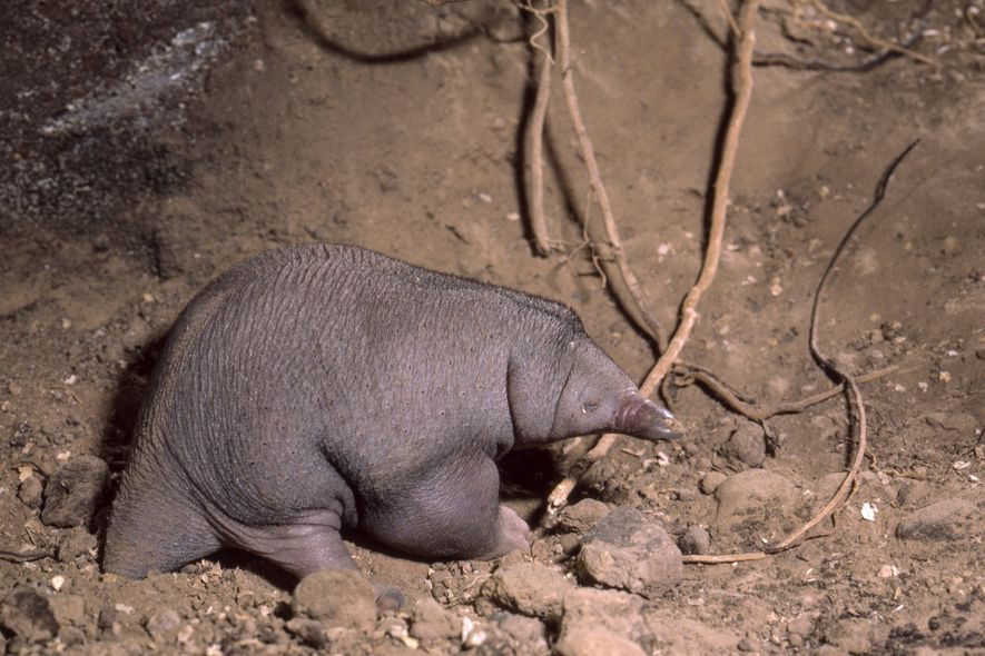 Since 2014, five accredited institutions in Australia have bred only 39 puggles, as baby echidnas are ...
