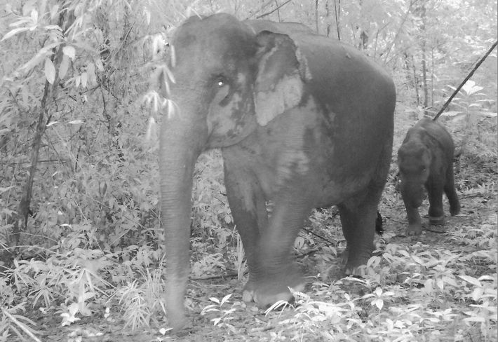 Widespread wire snares are crippling baby Asian elephants in Cambodia's Cardamom Mountains, a camera-trap study reveals.