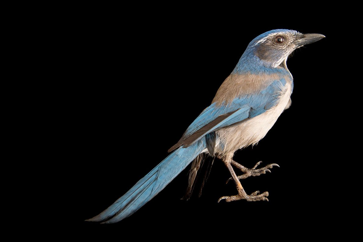 A Florida scrub jay, Aphelocoma coerulescens oocleptica, at Tracy Aviary.