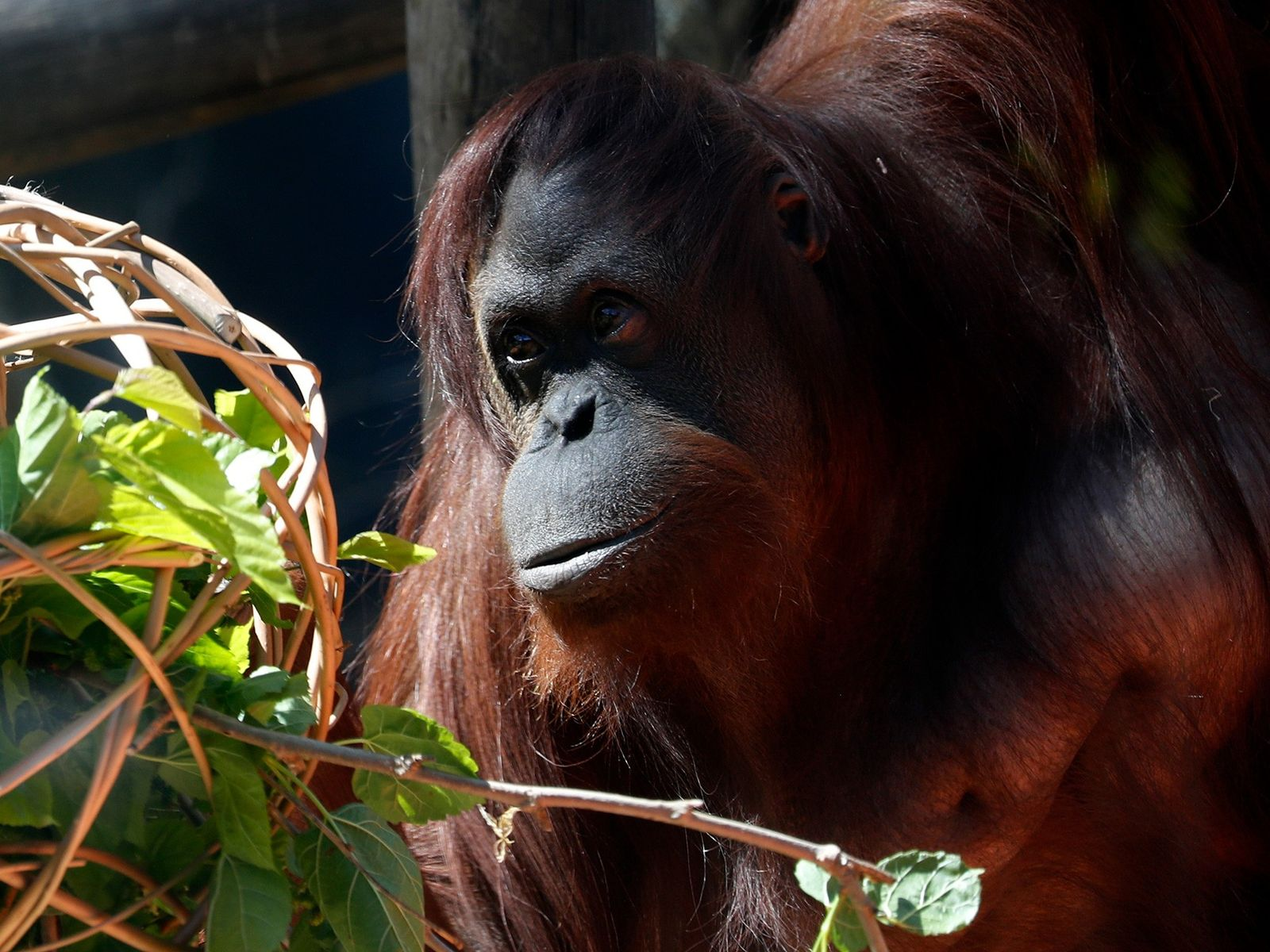Sandra the orangutan, pictured here in September at a Buenos Aires zoo, now lives at the ...