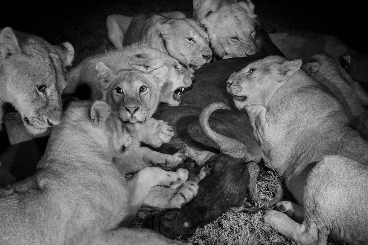 Adult females and large cubs of the Vumbi pride feast on a wildebeest in Serengeti National ...