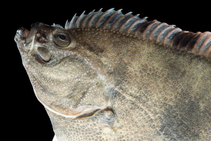 With their lopsided eyes and tilted bodies, flatfishes like this starry flounder are the most asymmetrical ...