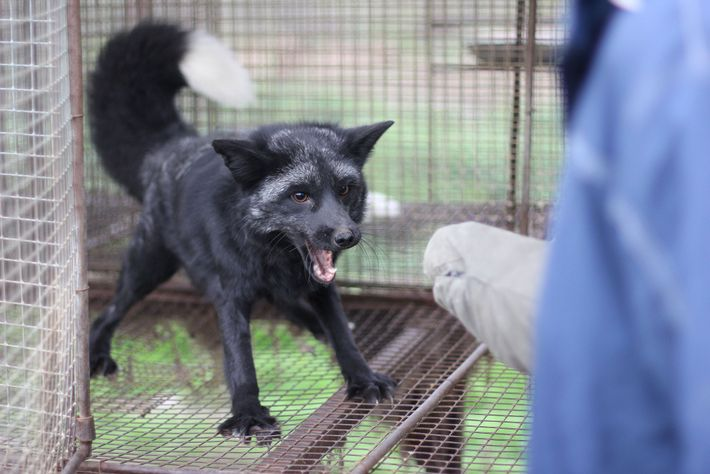 Breeding foxes to be docile has also produced anatomical changes associated with domestication, such as floppy ...
