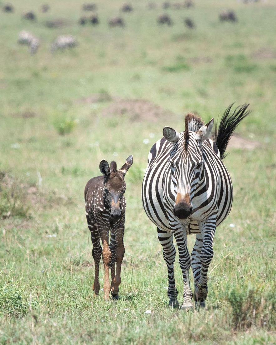 Tira walks through Kenya's Masai Mara National Reserve with her mother in a recent photograph.