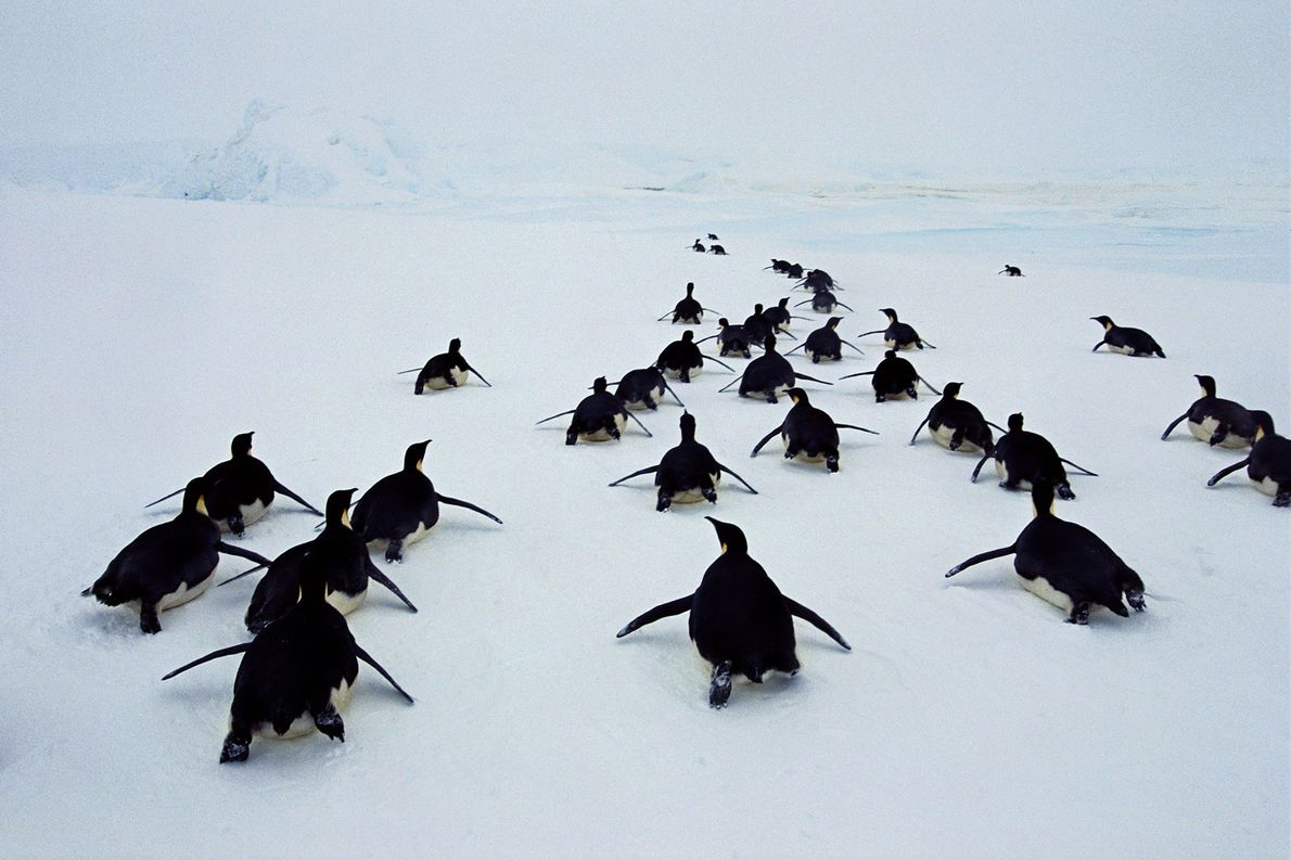 Emperor penguins toboggan through Weddell Sea in Antarctica.