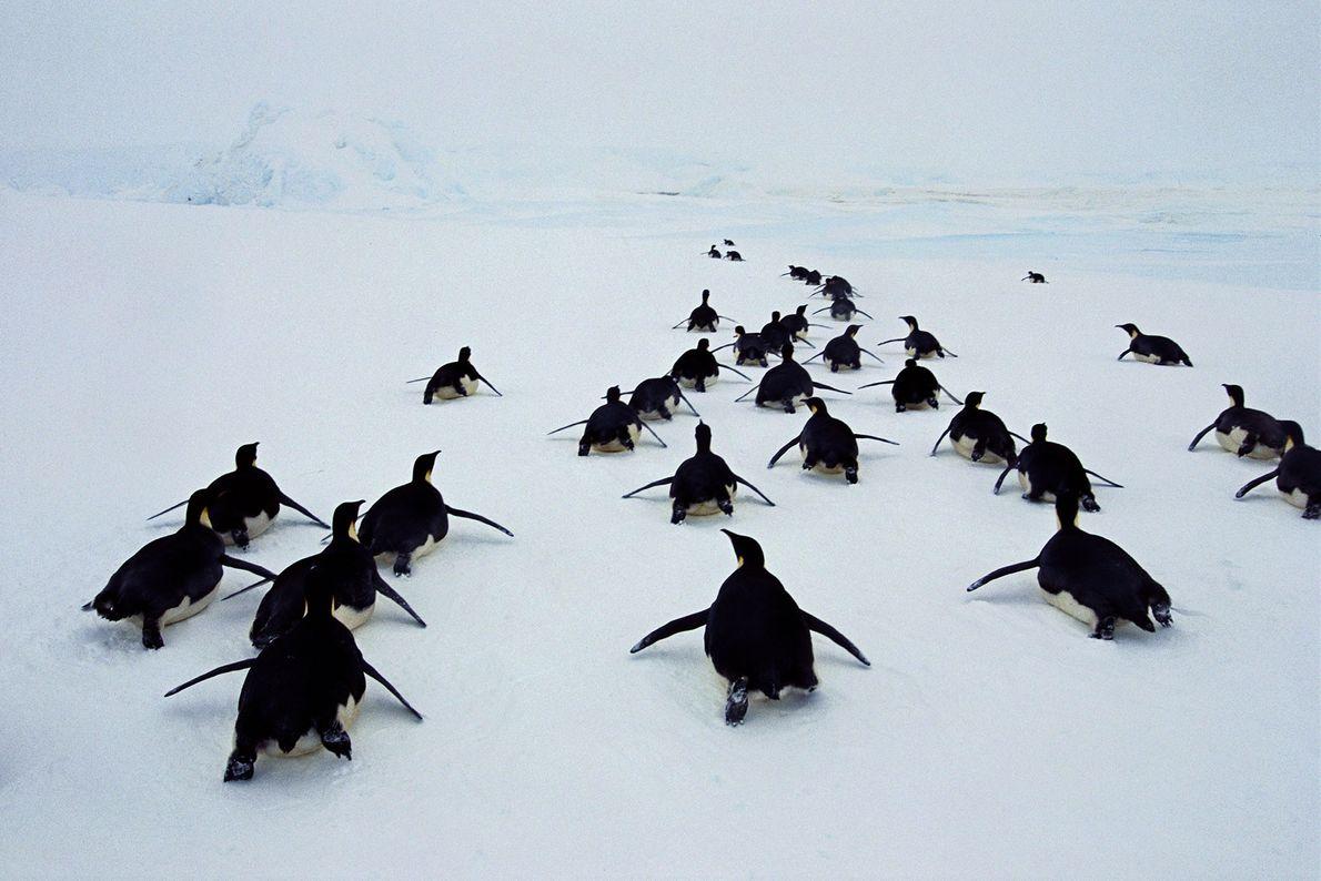 Emperor penguins toboggan through Weddell Sea in Antarctica.