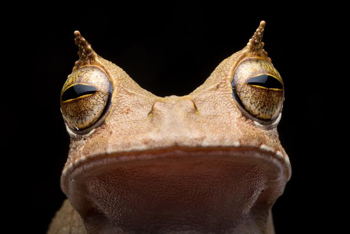 The horned marsupial frog had not been seen in Ecuador since 2005—until 2018. Its horn-shaped 'eyebrows' ...