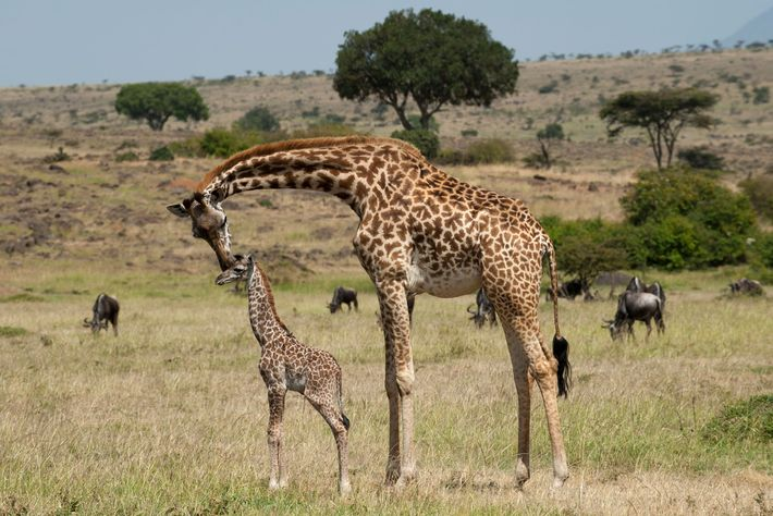 Researchers analysing giraffe spot patterns found that mothers passed on traits such as roundness and tortuousness ...