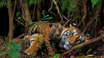Nepal's Tiger Population Nearly Doubles in Last Decade