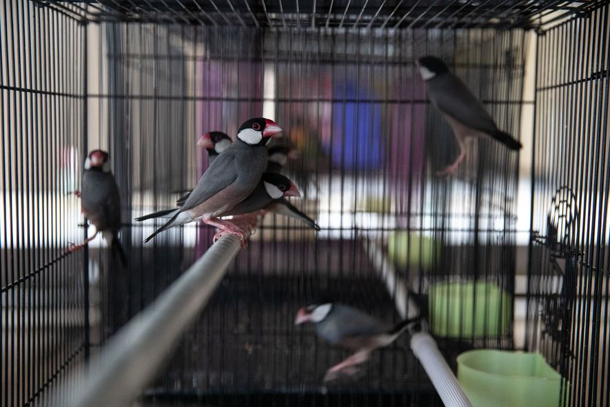 Java sparrows are a popular target for the domestic wildlife trade in Indonesia.