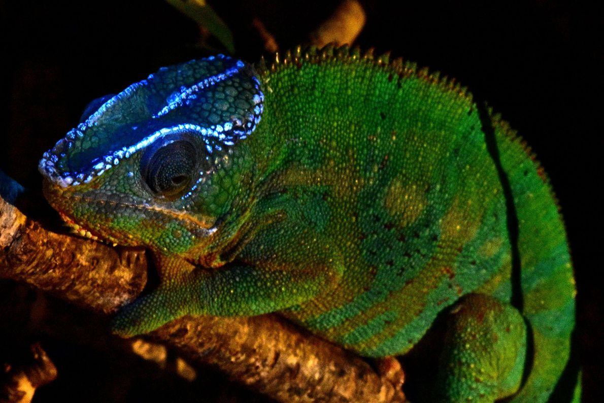 Fluorescent Furcifer pardalis