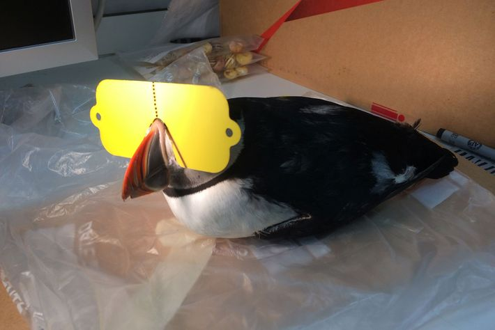A live puffin sports one of the custom-made sunglasses.