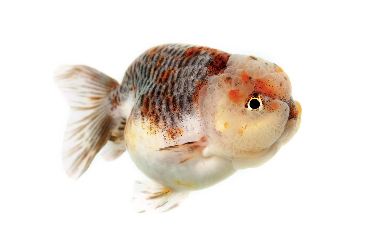Ranchu goldfish, like this tricolour, were developed in Japan and have no dorsal fin.