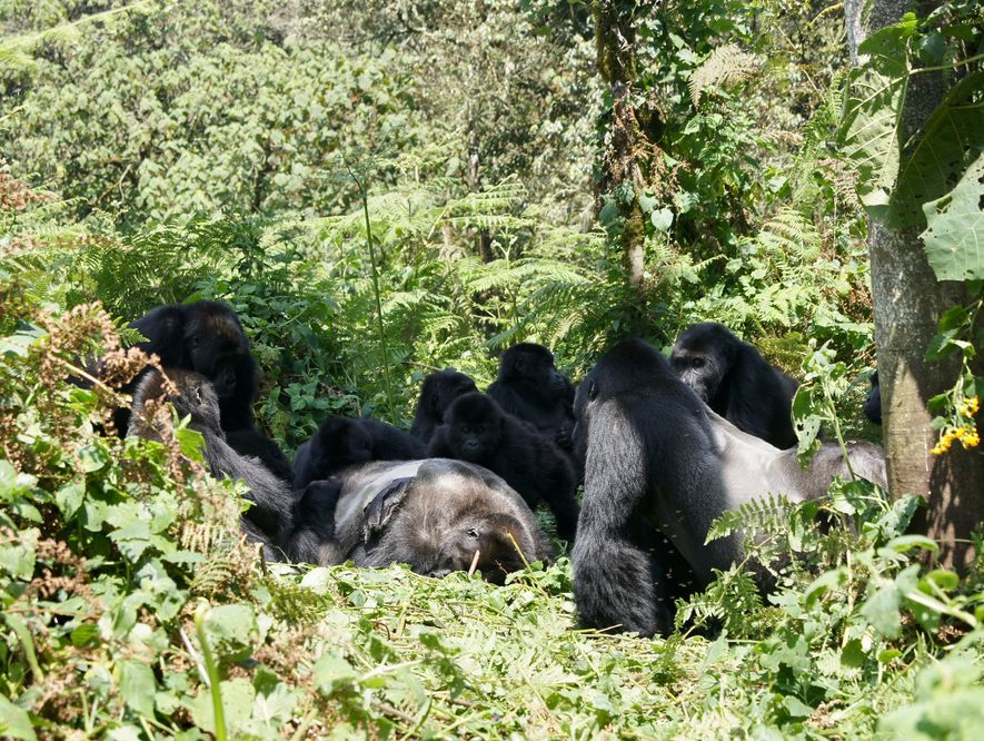 Grauer's gorillas gather around the body of an unknown male they came across in Kahuzi-Biega National ...