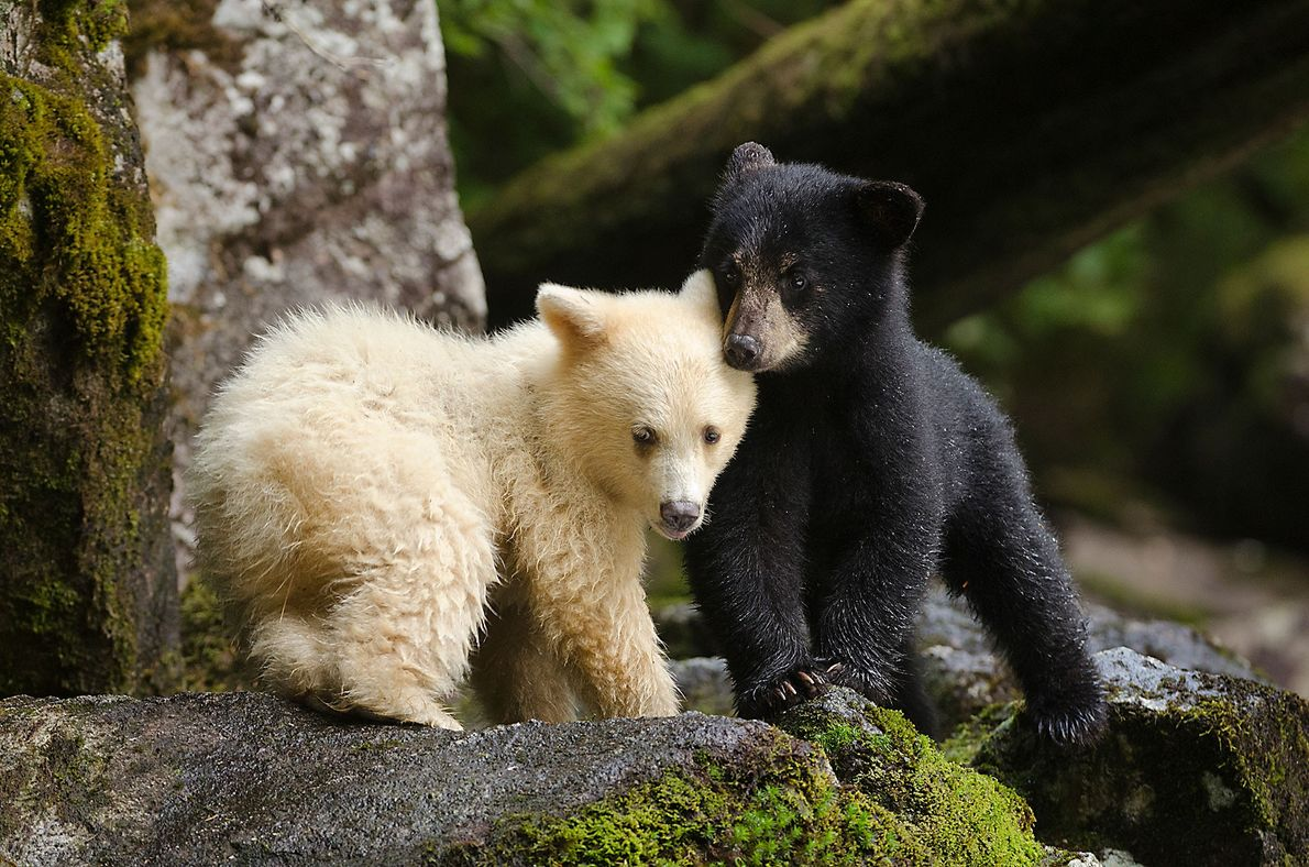 A spirit bear cub huddles with its sibling. For many years First Nations people kept the ...