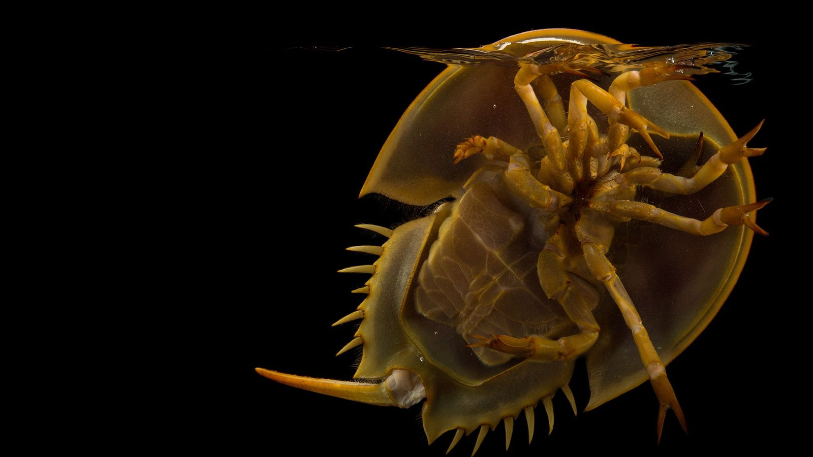 Horseshoe crabs, found throughout the world's oceans, are a familiar sight on beaches of the eastern ...