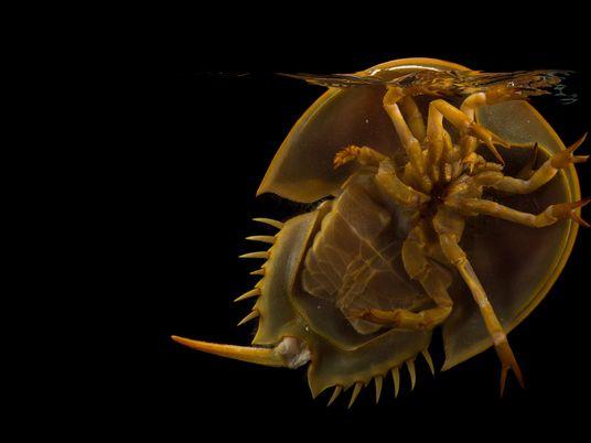Bizarre horseshoe crabs are actually spider relatives