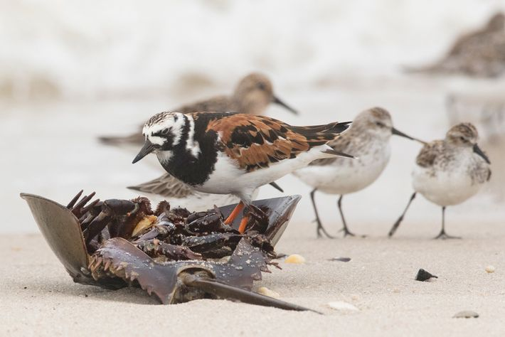 A ruddy turnstone eats a horseshoe crab in Delaware Bay, New Jersey. The crustaceans are vital ...