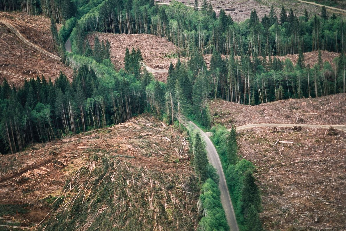 Near Port Angeles in Washington State, loggers have left thin screens of intact trees to hide ...
