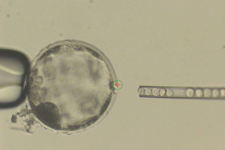 An image of a pig blastocyst being injected with human cells.