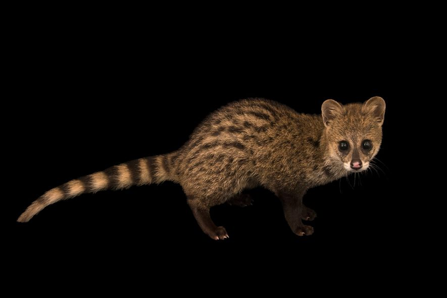 Parfumiers used to scrape a foul-smelling secretion straight from the anal glands of civets like this one ('Viverricula indica') to give colognes their signature musky scent. Thankfully, there's a synthetic dupe available now.