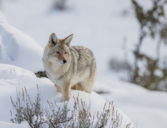 Coyote urine is often marketed as a natural pest deterrent. Some users swear that a quick ...