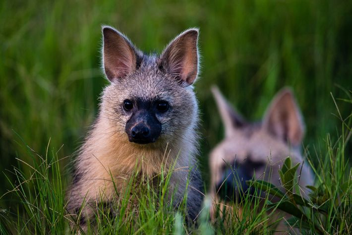 An aardwolf and her pup emerge from their den at Duba Plains Camp in Botswana.