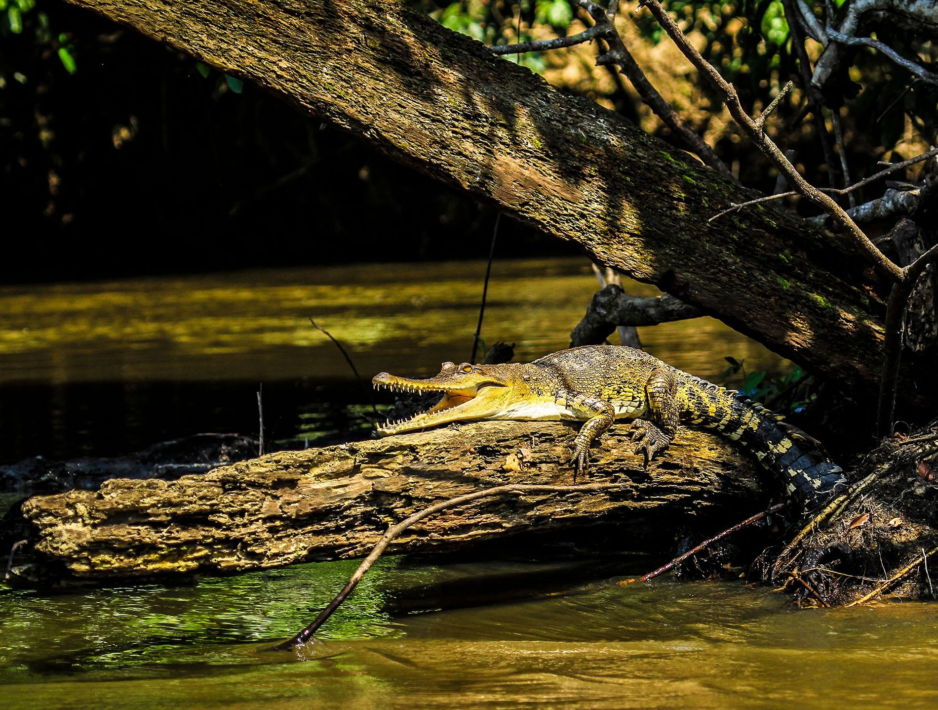 The new species, the Central African slender-snouted crocodile, 'Mecistops leptorhynchus', is the first to be fully described in more than 80 years.