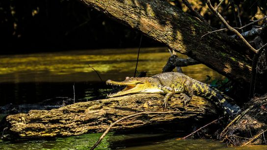 The new species, the Central African slender-snouted crocodile, 'Mecistops leptorhynchus', is the first to be fully ...