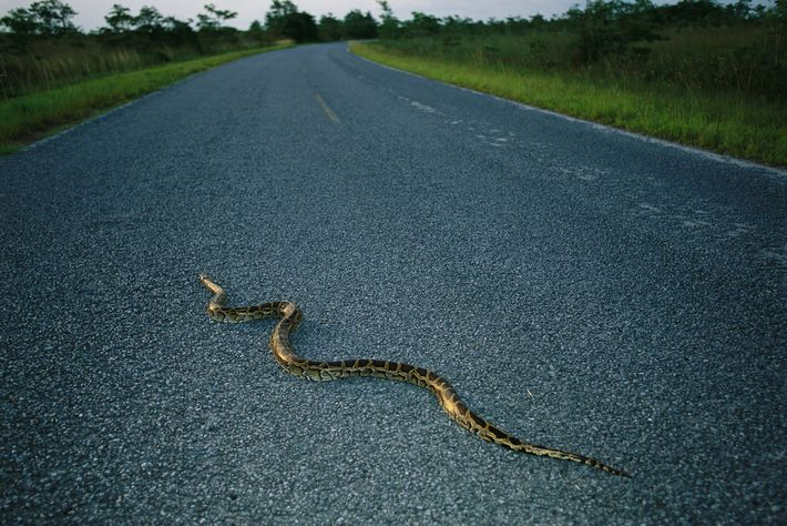 A Burmese python crosses a Florida road. Native to Southeast Asia, tens of thousands are now ...