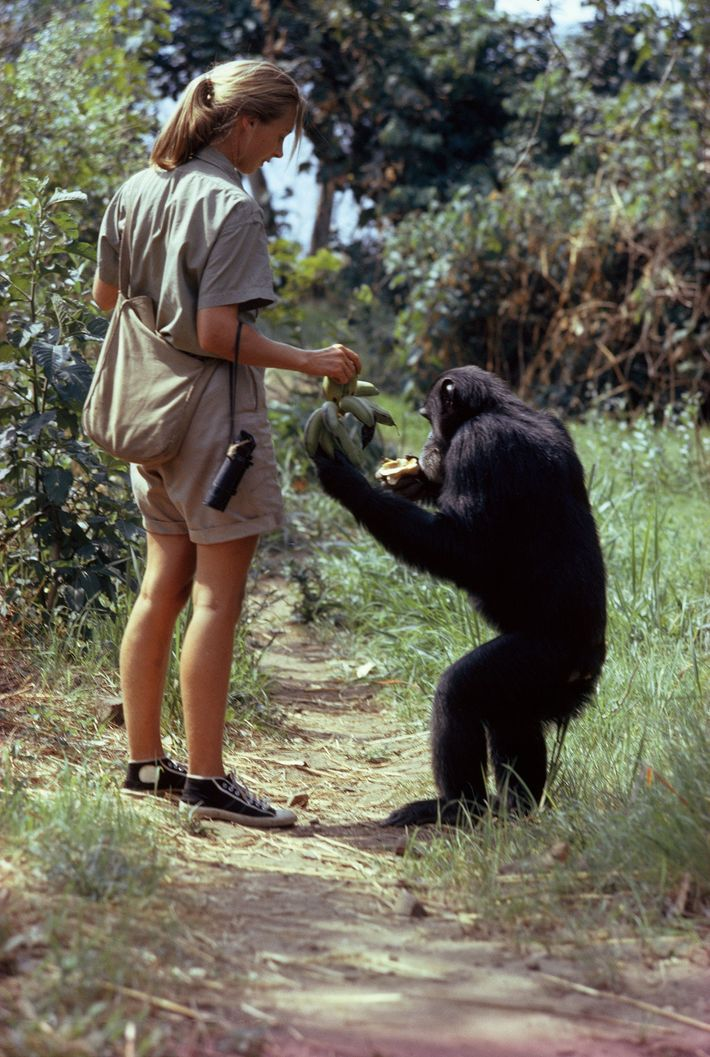 David Greybeard, a wild chimpanzee, gets a handout of bananas from author Goodall, who studies the ...