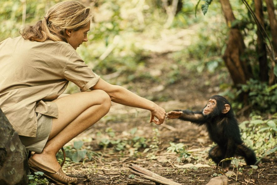 A young chimp named Flint reaches for ethologist Jane Goodall. Flint was the first infant born in Gombe after Jane's arrival.
