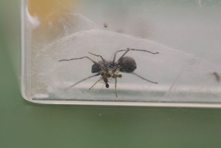 A group of spiderlings, three days old, can be seen underneath their mother in their laboratory-based ...