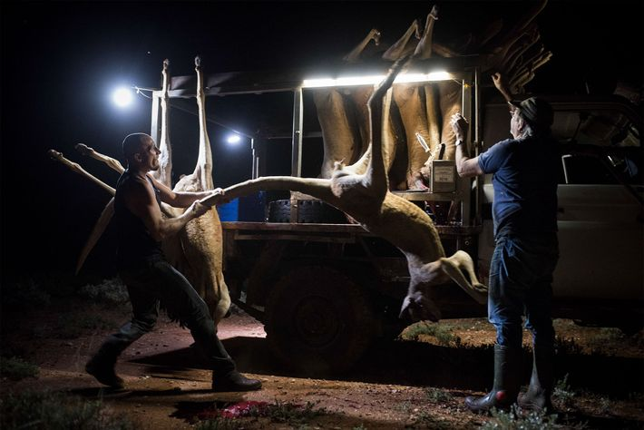 Kangaroo hunts take place at night, often in remote areas. Tony Gyss, right, is a professional ...