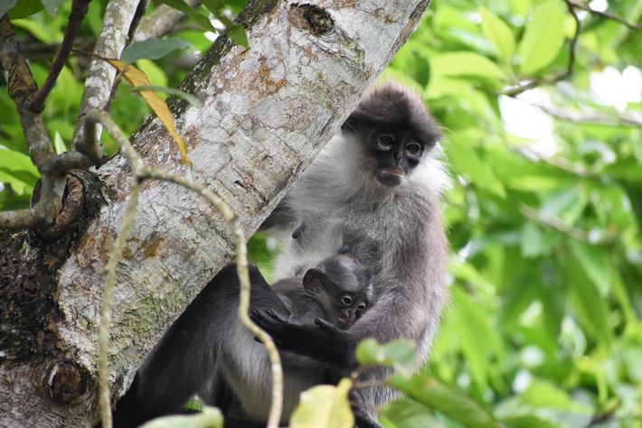Researchers examined the genome of the related white-thighed langur (Presbytis siamensis) to learn more about the ...