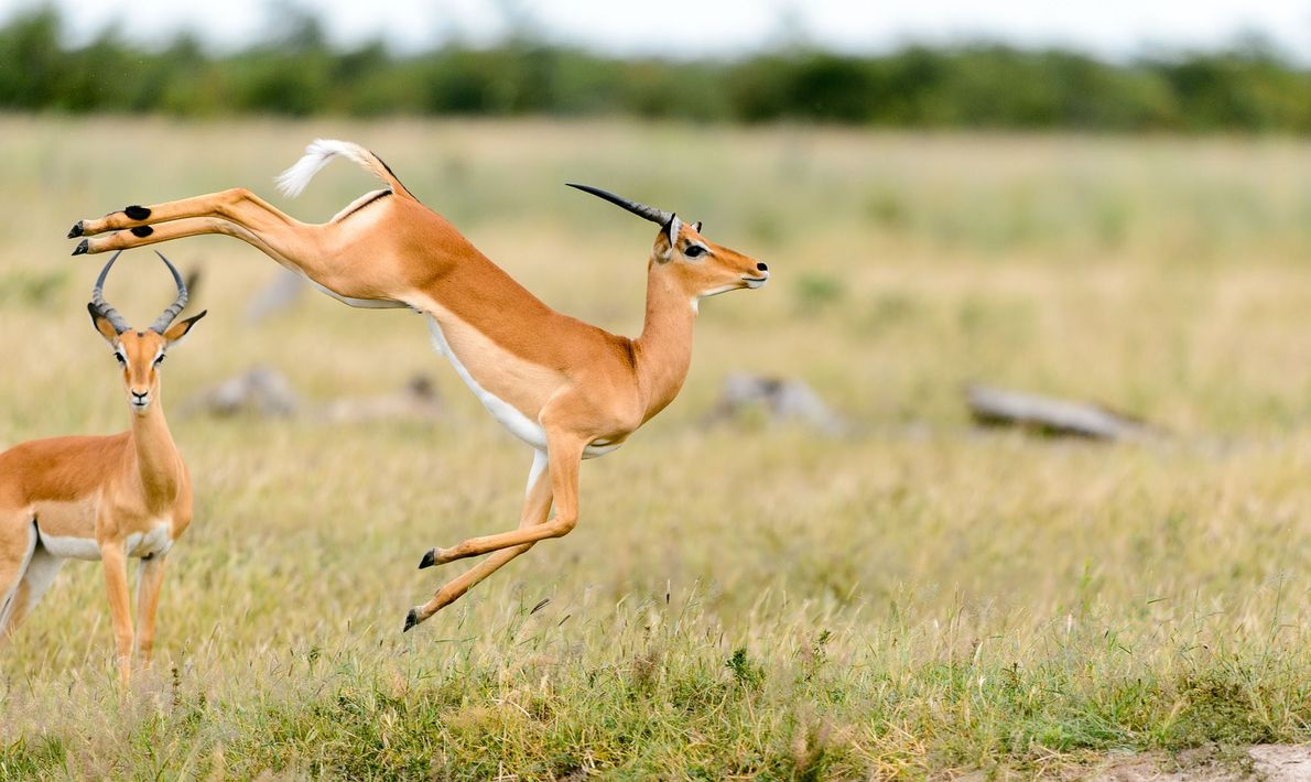 Impala, shown here in the Okavango Delta of Botswana, are known for their significant leaping ability, ...