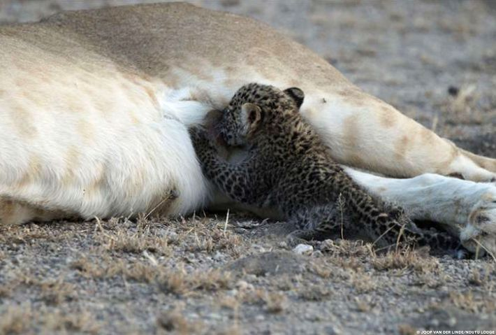 It's possible the maternal instincts of the lioness kicked in and overrode the usual instinct to ...